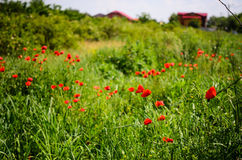 маки красные Стоковые Фото