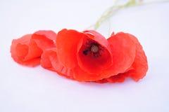 маки красные стоковое изображение rf