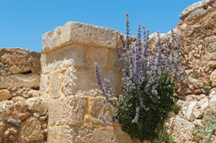 Маки куста растя на каменной стене на предпосылке неба стоковое фото rf