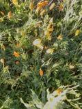 Маки Ланкастера CA стоковая фотография