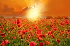 Маки на земле на заходе солнца в сезоне лета Стоковое Изображение RF