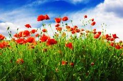 Маки на зеленом поле Стоковое Изображение