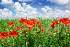 Маки на зеленом поле Стоковое Фото