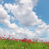 Маки на зеленом поле стоковое фото rf