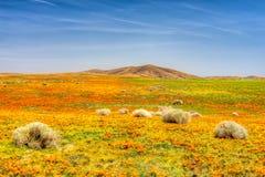 Маки долины антилопы Стоковое Фото