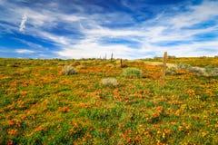 Маки долины антилопы Стоковое Изображение RF