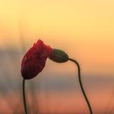 Маки перед восходом солнца стоковые изображения rf