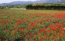 маки полей Стоковая Фотография
