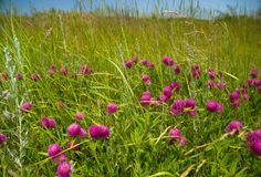 маки поля зеленые Стоковая Фотография