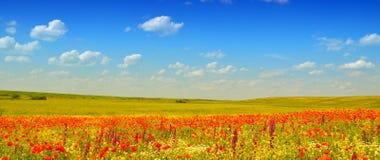 маки поля красные Стоковые Фотографии RF