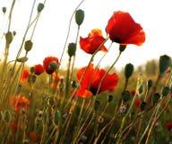 маки поля красные Стоковые Изображения
