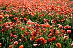 маки поля одичалые Стоковая Фотография RF