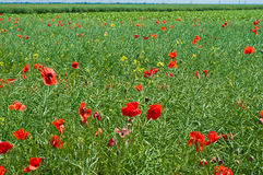 маки поля Румыния Стоковая Фотография RF