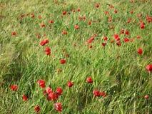 маки поля ячменя красные стоковая фотография