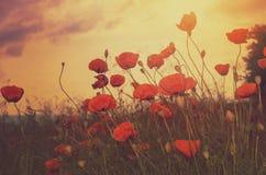 Маки поле и солнце стоковое изображение