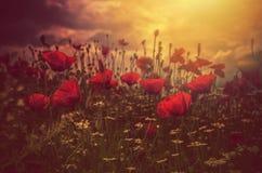 Маки поле и солнце стоковые фотографии rf