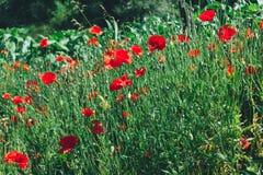 маки поля зеленые красные предпосылка естественная Wildflowers Стоковое Изображение RF