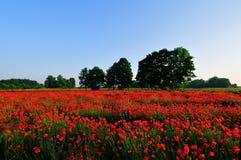 маки поля красные стоковое изображение rf