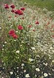 маки поля красные стоковая фотография rf