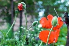 Маки луга маков! Память цветка! Стоковое Фото