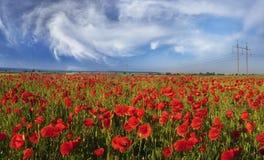 Маки цветеня одичалые Стоковая Фотография