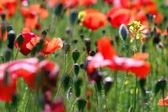 Маки цветут весной природа стоковые изображения
