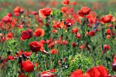Маки цветут луг весной стоковые фотографии rf