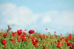 Маки цветут сельская местность луга весной стоковое изображение rf