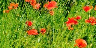 Маки шарлаха на фоне зеленой травы Фокус дальше стоковая фотография