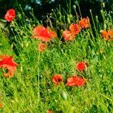 Маки шарлаха на фоне зеленой травы Фокус дальше стоковое изображение