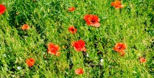 Маки шарлаха на фоне зеленой травы Фокус дальше стоковая фотография rf