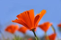 маки california Стоковое Фото