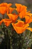 маки california Стоковое фото RF
