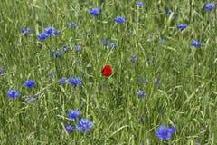 маки cornflowers Стоковые Фото