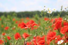 Маки Wildflowers стоковая фотография rf
