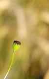 Маковое семеня неполовозрелое Стоковые Фото