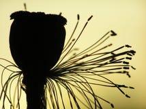 маковое семеня Стоковые Фото