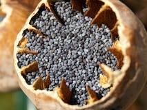 маковые семенена Стоковые Изображения RF