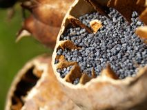 маковые семенена Стоковое Изображение