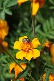 Макроса цветка кавказское мухы aeneus Eristalinus hoverfly на бриге стоковое фото rf