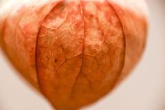 Макрос апельсина фонарика абстрактной предпосылки phisalys китайский Стоковое Изображение