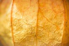 Макрос апельсина фонарика абстрактной предпосылки phisalys китайский Стоковое фото RF