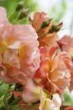 Макрос апельсина роз завода Стоковое Изображение