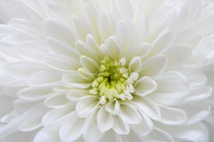 Макрос астры белого цветка Стоковая Фотография RF