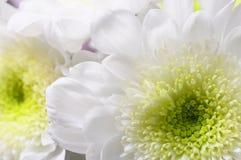 Макрос астры белого цветка Стоковое Изображение RF