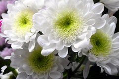 Макрос астры белого цветка Стоковое Изображение