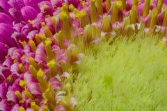Макрос африканской маргаритки Стоковое фото RF