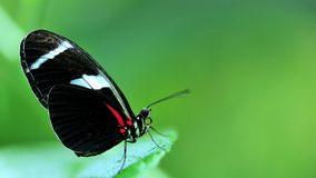 Макрос, бабочка Сары Longwing на зеленых лист Стоковое Изображение