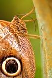Макрос бабочки сыча держа дальше к дереву Стоковая Фотография RF