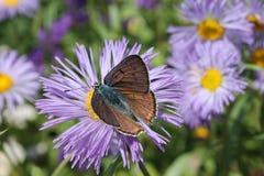 Макрос бабочки Стоковые Изображения RF